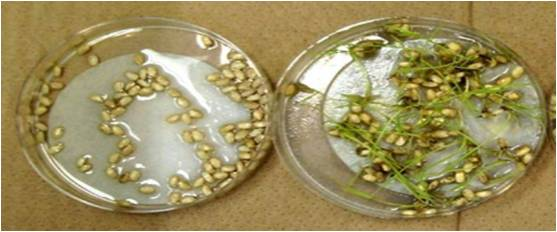 Geneticine Selection of Rice Seeds and or Seedlings